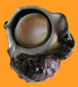 夜光貝の写真