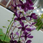 深い紫色の欄の花